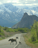 Glenn Hwy, Moose and Calf0574663b
