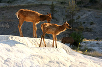 Yellowstone NP, Mammoth Hot Springs, Elk0826732