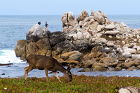 Pacific Grove, Point Pinos. Deer150-8597