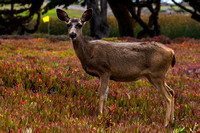 Pacific Grove, Point Pinos. Deer150-8615