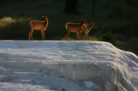 Yellowstone NP, Mammoth Hot Springs, Elk0826717
