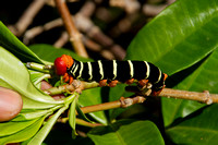 Roseau, Morne Bruce, Caterpillar120-4344