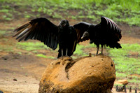 Chagres R, Vultures1116545a