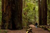Armstrong Redwoods SP170-5461