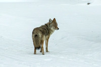 Yellowstone NP, Coyote150-5234