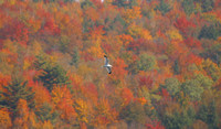 Bird Flying with autumn foliage as a backdrop, northern New Hampshire