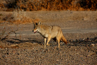 Death Valley NP, Coyote0748587