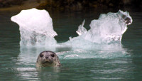 Tracy Arm, Seal020625-2922a
