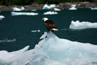 Le Conte Bay, Iceburg, Bald Eagle0818200
