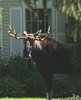 A Moose on Someone's Front Lawn in Hanover, New Hampshire