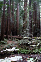 Muir Woods National Monument, Redwoods