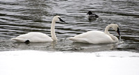Yellowstone NP, Yellowstone R, Trumpeter Swans150-5430