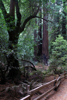 Muir Woods National Monument, Trees