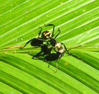 Corcovado NP, Ant040123-9487a