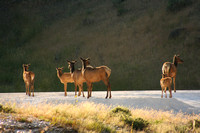 Yellowstone NP, Mammoth Hot Springs, Elk0826713