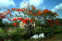 Belize City, Flame Tree1117416a