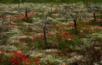 Istrian Peniinsula, Countryside, Poppies1022218a