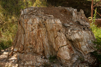 Florissant Fossil Beds NM, Petrified Redwood Trunk0737680