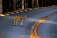 Yosemite NP, Coyote w Injured Leg112-3117