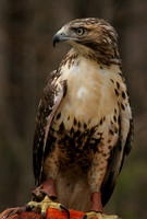 Center for Wildlife, Red Tailed Hawk V0730353a