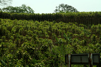 Costa Rica, Countryside, Indian Cane1116243
