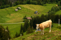Grindelwald Valley, Cow0942348