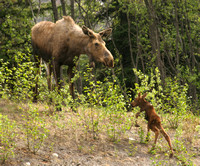Glenn Hwy, Moose and Calf0574669a