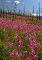 Taylor Hwy, Fireweed V0610099a