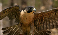 Center for Wildlife, Peregrine Falcon0730376a
