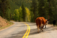 Cottonwood Pass, Cows in Rd0740088
