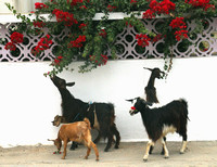 Northern Tunisia, Goats1026473a