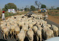 Rajasthan, Sheep in Rd030307-4860a