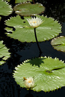 New River, Lily Pads, Flowers V1117427