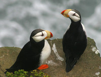 Pribilofs - St George Island, Puffins and Birds