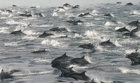 Sea of Cortes, Dolphin Frenzy
