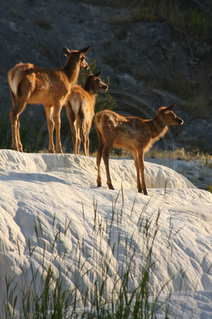 Yellowstone NP, Mammoth Hot Springs, Elk V0826725