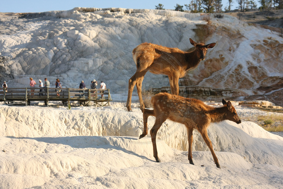 Yellowstone NP, Mammoth Hot Springs, Elk0826734