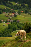Grindelwald Valley, Cow V0942341