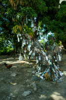 Basseterre, Bottle Tree V141-3832
