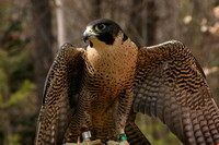Center for Wildlife, Peregrine Falcon0730410