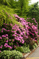 Blowing Rock, Rhododendrons V0611590