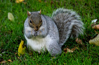 Boston, Boston Common, Squirrel112-2943