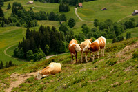 Grindelwald Valley, Cows0942328a