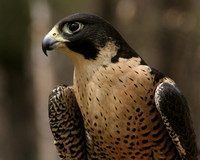 Center for Wildlife, Peregrine Falcon0730366a