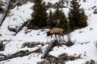 Yellowstone NP, Elk150-4810
