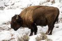 Yellowstone NP, Bison150-4800