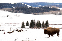 Bondurant, Countryside, Winter, Bison150-6735