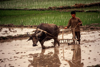 Quang Ninh, Working in Rice Paddy S -8806