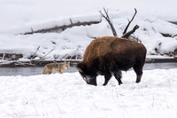 Yellowstone NP, Bison and Coyote150-5377