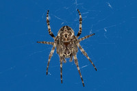 Isles of Shoals, Star Island, Spider160-4373